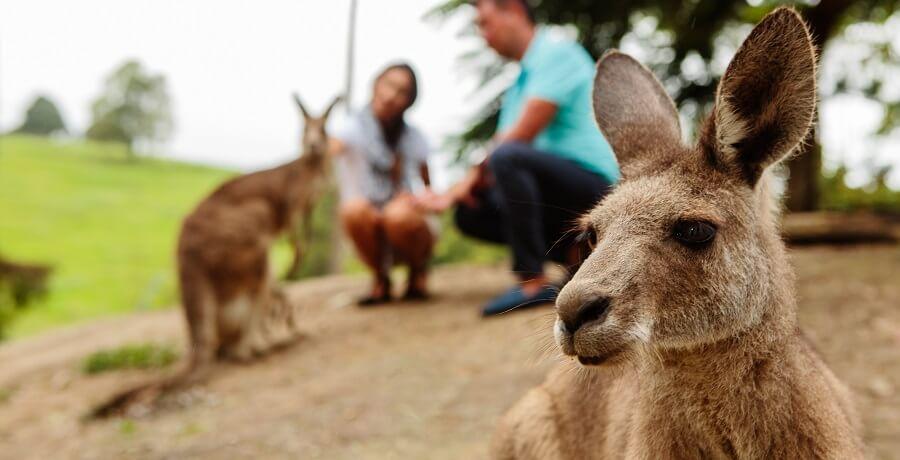 kangaroo at featherdale wildlife park