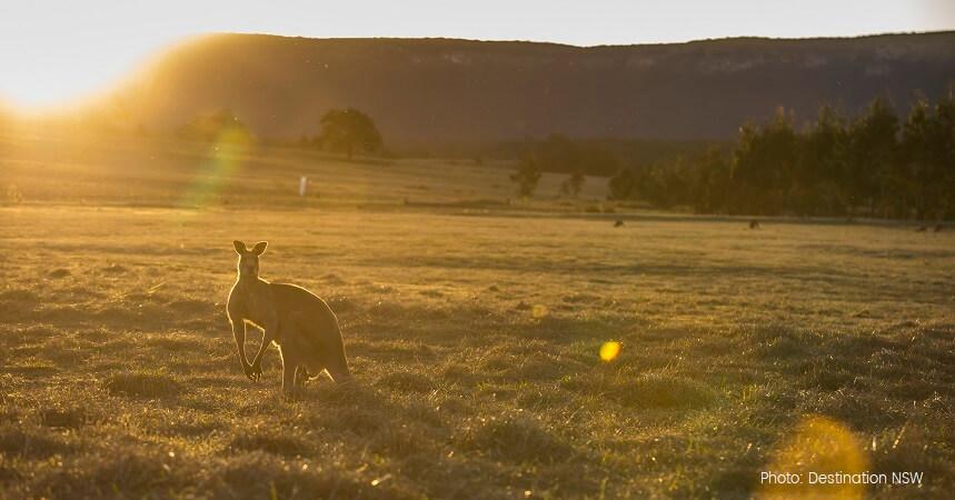 Blue Mountains Sunset Tour - Kangaroos